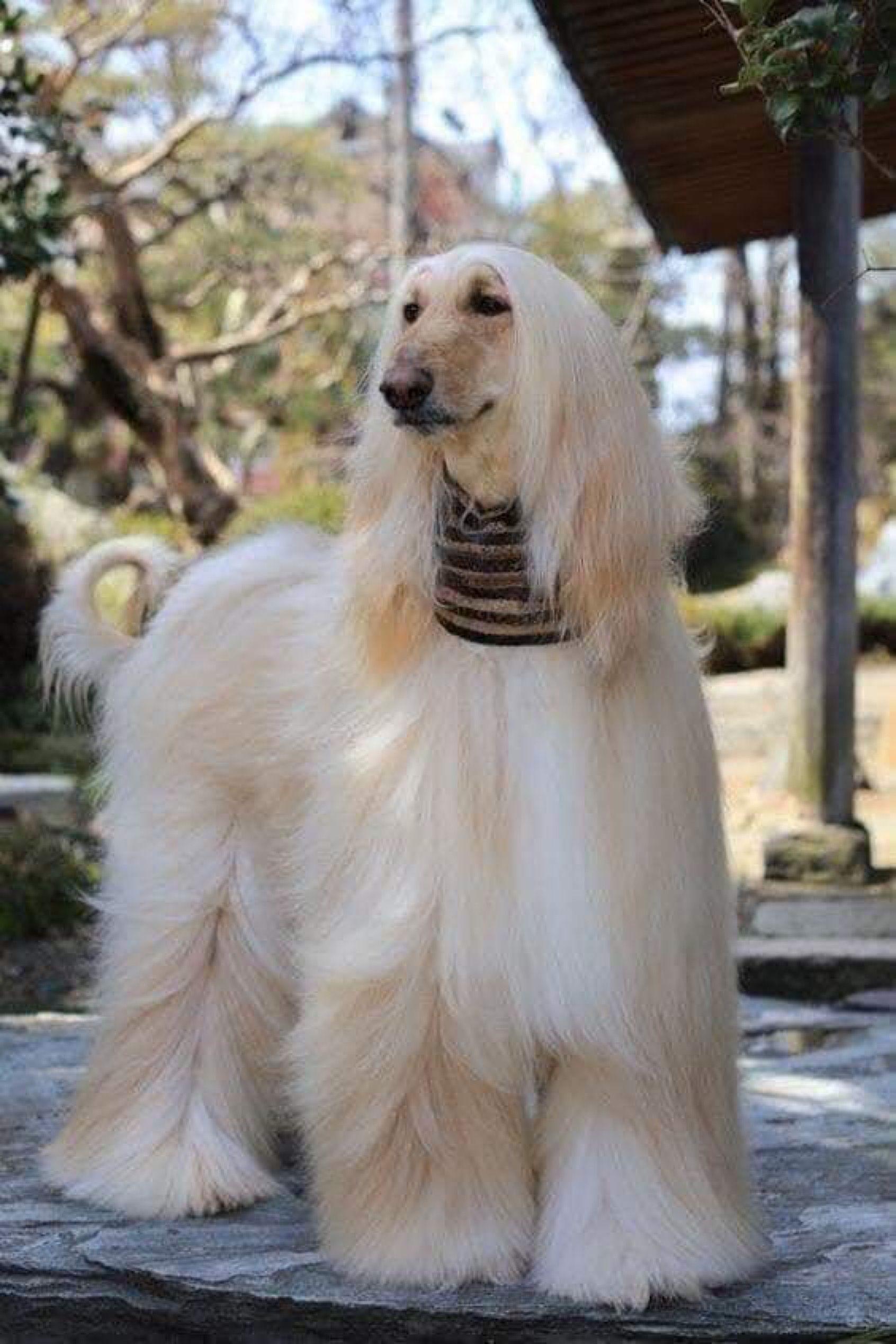 هذه الكلبة صاحبة أجمل شعر في العالم Dogs Afghan Hound Best Dog Breeds