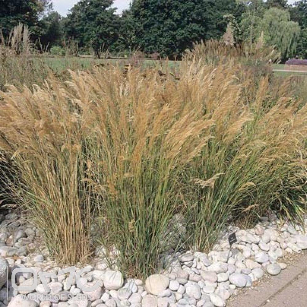 Buy blue dune lyme grass in nw arkansas - Grasses