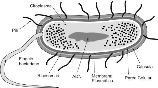 Estructura De Una Bacteria Microorganismos1 Accent Chairs Chair