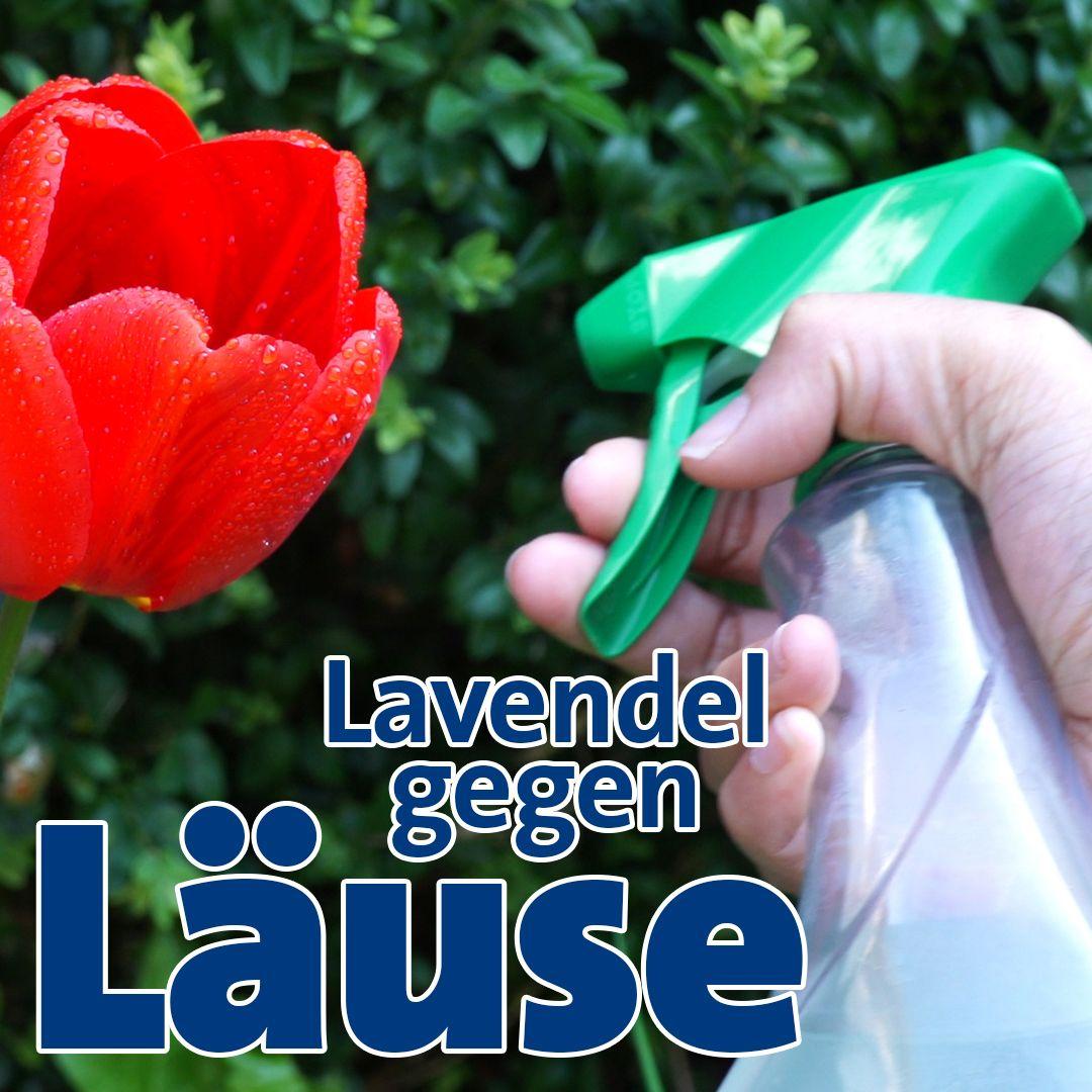 Mittel Selber Machen Diese Lavendel Losung Hilft Gegen Blattlause