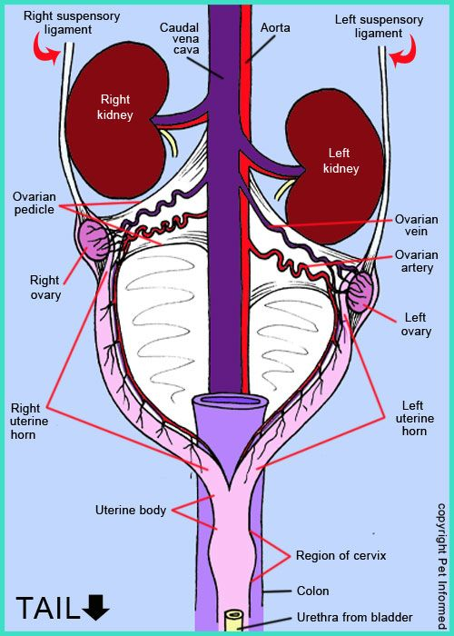 Diagram Of The Reproductive Organs Anatomy Of The Female Dog