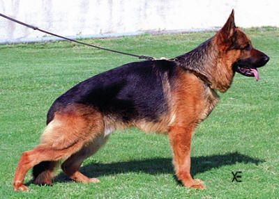 Ovo Von Batu German Shepherd Dogs Alsatian Dog German Shepherd