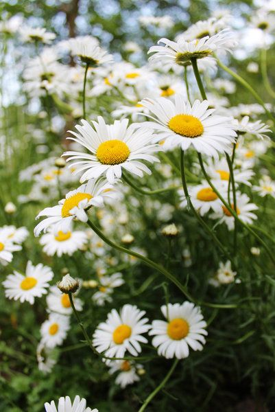 The simple old fashioned marguerite daisy is one of my absolute favourite plants.