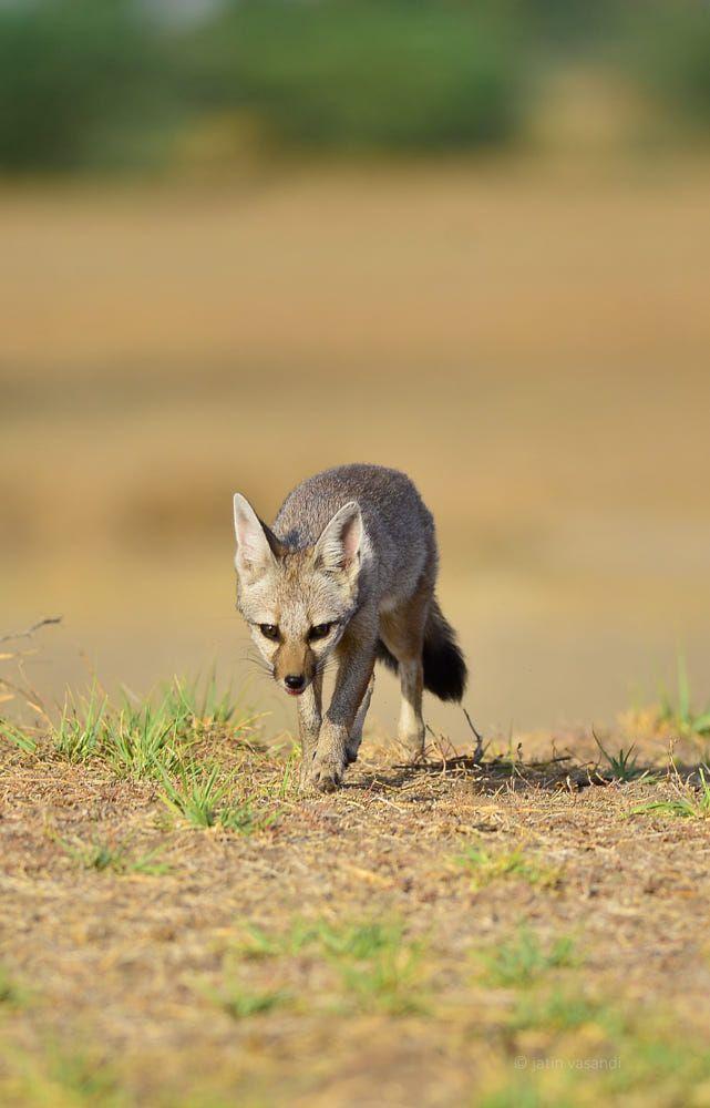 Fennec Fox | Bizarre animals, Cute animals, Animals wild