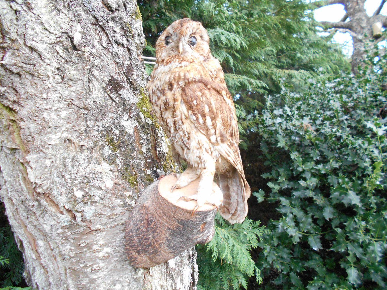 Beautiful French Taxidermy - BARN OWL | Barn owl ...