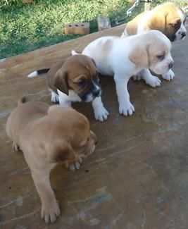 French Bulldog X Beagle Frengle Puppies Dogs Puppies