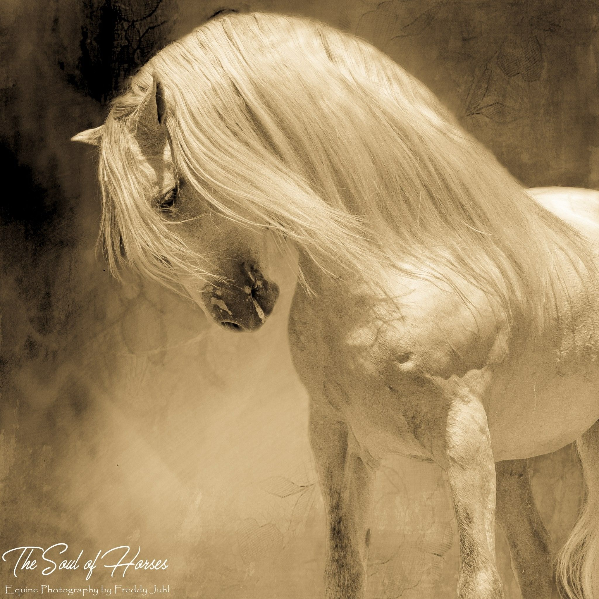 Gorgeous horse bowing it's head with long flowing mane.