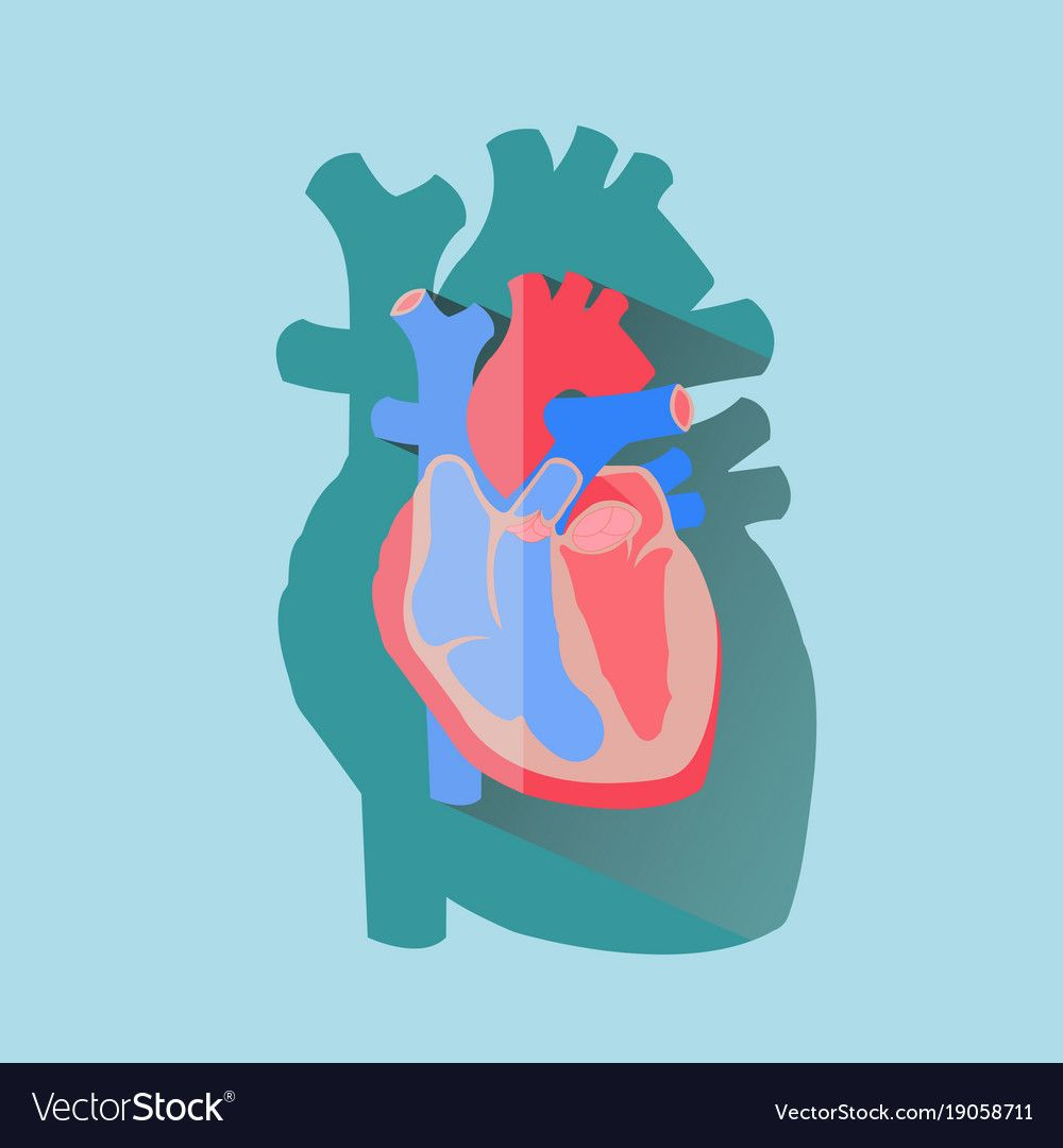 Human Heart Cross Section Anatomical Flat Design Vector Image On Vectorstock Cardiology Art Heart Icons Illustration