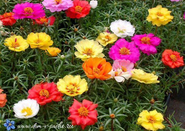 Фото низкорослых цветов с названиями