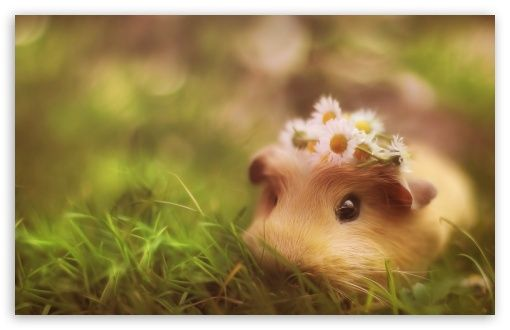 Pictures Of Guinea Pigs Wallpapers (29 Wallpapers) - Adorable ...