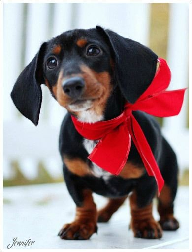 Tell Me Again Why I Have To Wear This Big Ribbon Weiner Dog