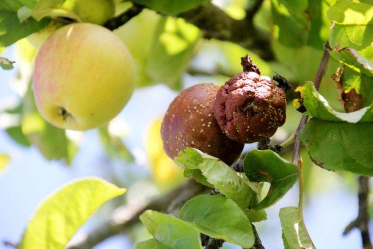 Apfelbaum-Krankheiten: Häufige & gefährliche Krankheiten - Plantura