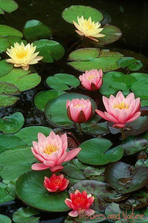 In Fountain Beautiful Flowers Water Lilies Plants