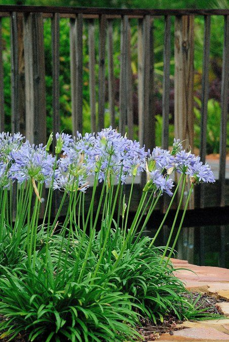 Agpe Agapanthus Peter Pan Dwarf Lily Of The Nile Evergreen Foliage To 12 Inches Tall Flower S Garden Shrubs Part Shade Plants Shrubs For Landscaping
