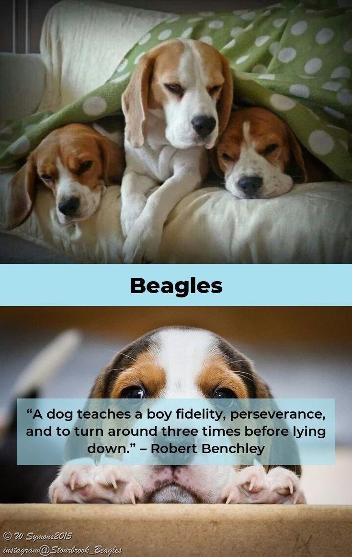 Discover The Merry Beagle Personality Beagleoftheday Beaglesofig