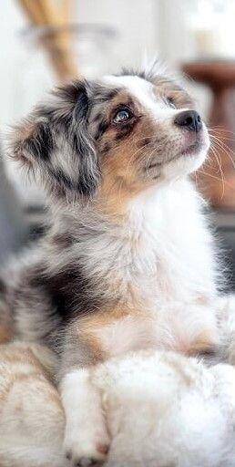 Australian Darcy Animal De Soutien Emotionnel In 2020 Aussie Welpen Hunderassen Hunde