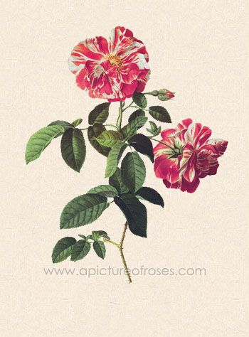 picture of the Gallica Rose, Rosa Mundi, R. gallica variety, painted by Pierre-Joseph Redouté