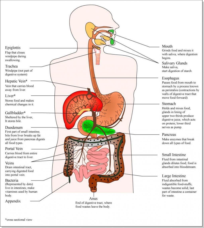 Map Of Human Organs Anatomy Human Anatomy Organs Pinterest