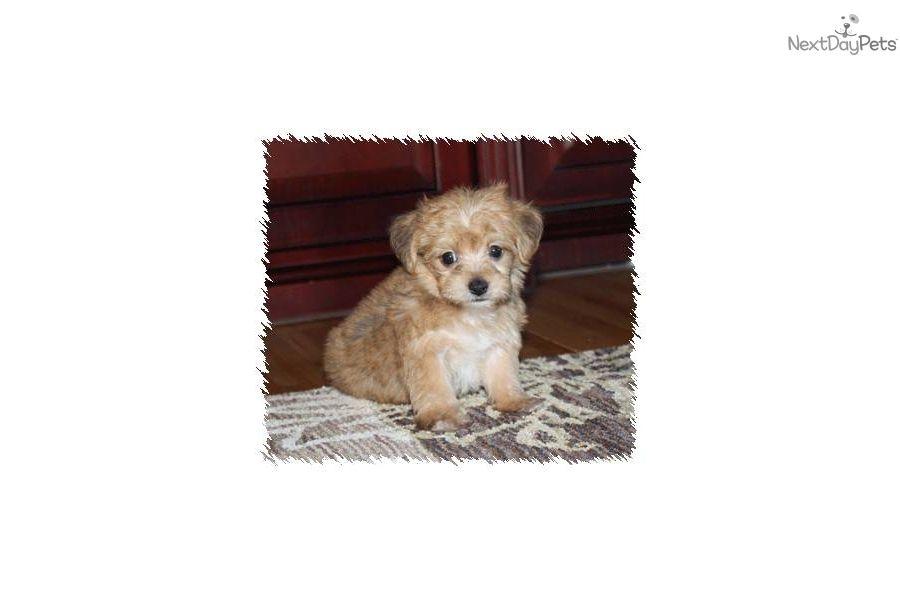 Teddy bear puppies for sale in wayland iowa