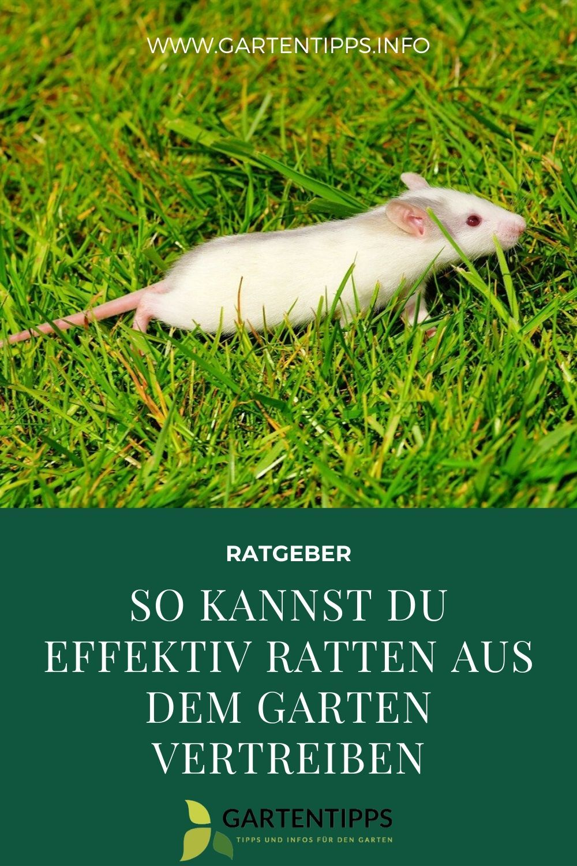 So Kannst Du Effektiv Ratten Aus Dem Garten Vertreiben Ratten Vertreiben Ratten Marder Vertreiben