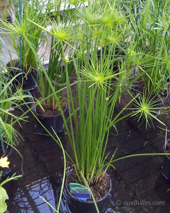 plante émergentes | le papyrus se bouture très facilement en