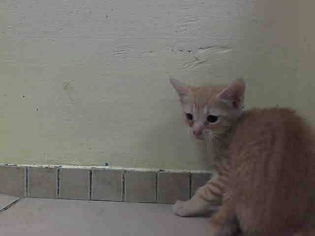 NYACC **URGENT** BABY ALERT** TO BE DESTROYED 7/14/14 Brooklyn Center  My name is CJ. My Animal ID # is A1006145. I am a male org tabby domestic sh. The shelter thinks I am about 7 WEEKS old.  I came in the shelter as a STRAY on 07/10/2014 from NY 11368, owner surrender reason stated was ABANDON. I came in with Group/Litter#K14-185306.  https://m.facebook.com/photo.php?fbid=830275276984306&id=155925874419253&set=a.576546742357162.1073741827.155925874419253&source=43