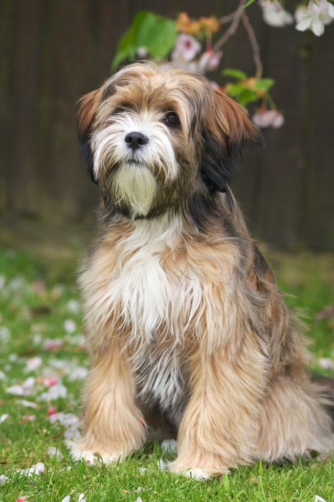 Tibetan Terrier Click On The Photo To Find Out More About This Dog Breed With Images Dog Breeds Dogs Tibetan Terrier