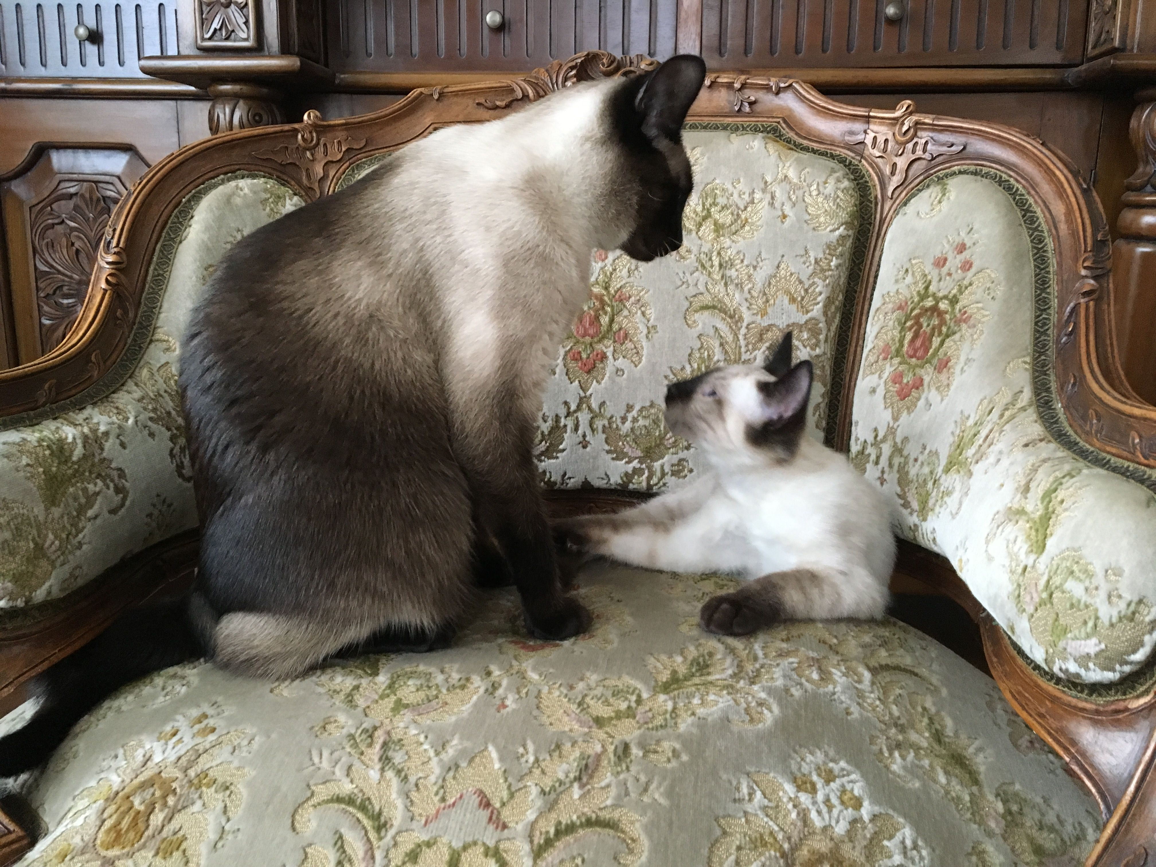 Versace Valentino Angora Cats Siamese Cats Abyssinian Cats