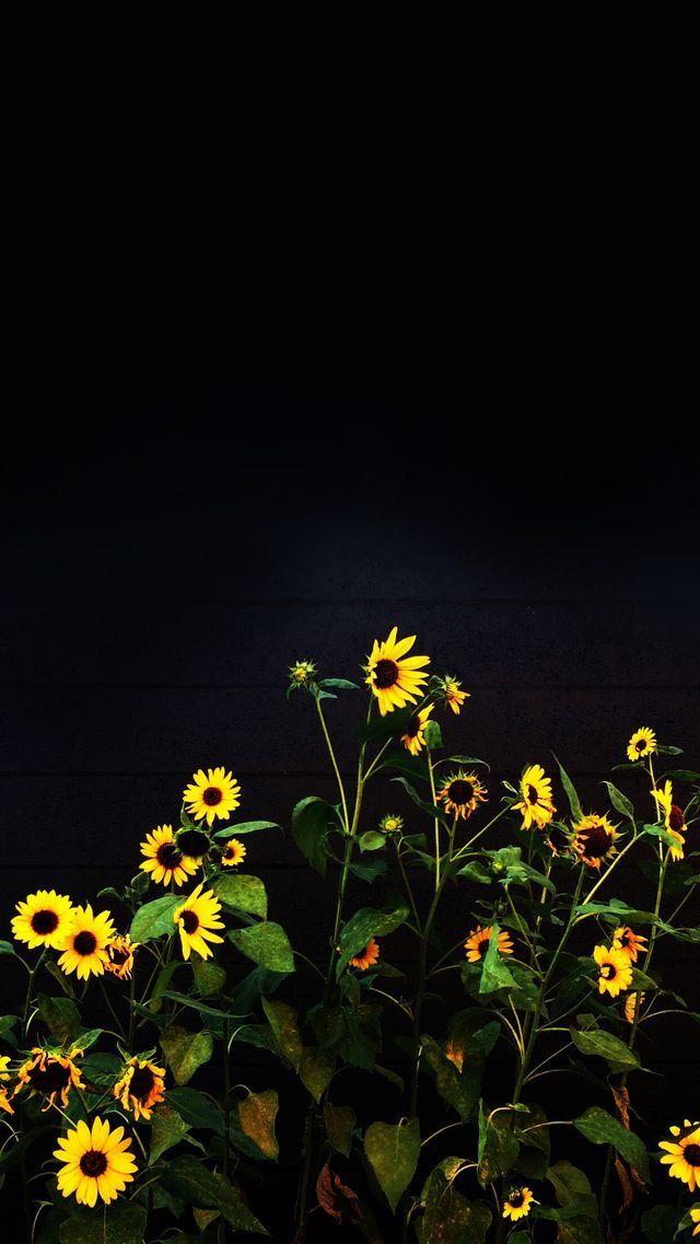 Nature Wallpaper Iphone Black Black Background Wallpaper Sunflower Wallpaper Sunflower Iphone Wallpaper