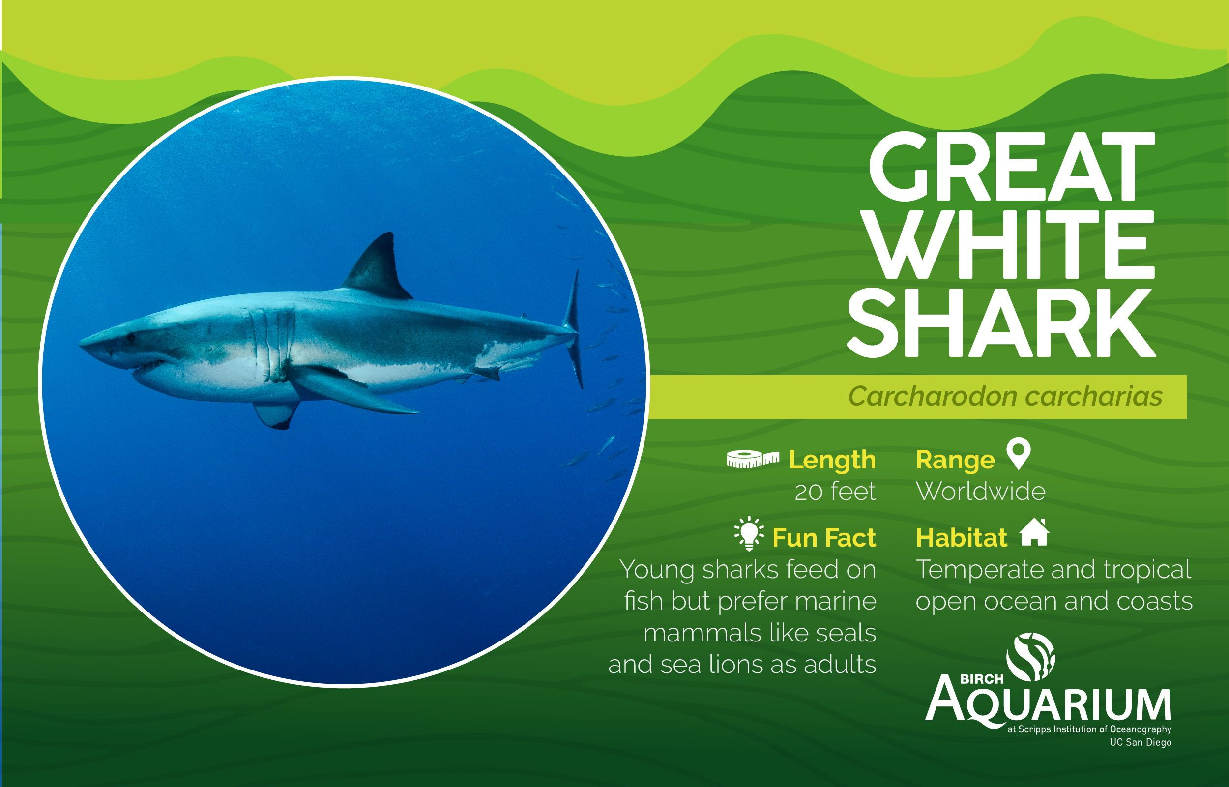 It S Sharkweek A Few Fun Facts About The Great White
