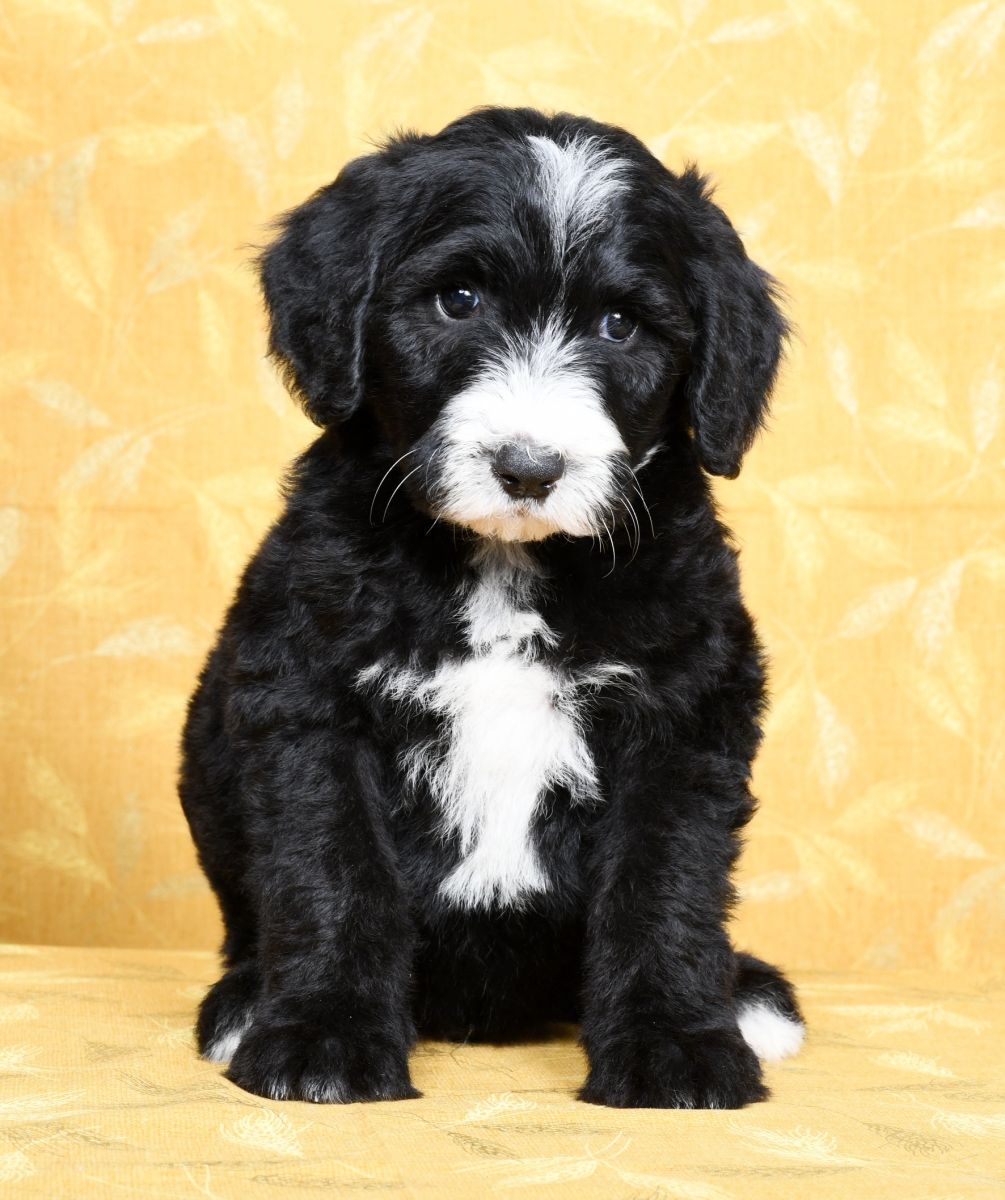 Puppies For Sale Sheepadoodle Puppy Lancaster Puppies Sheepadoodle