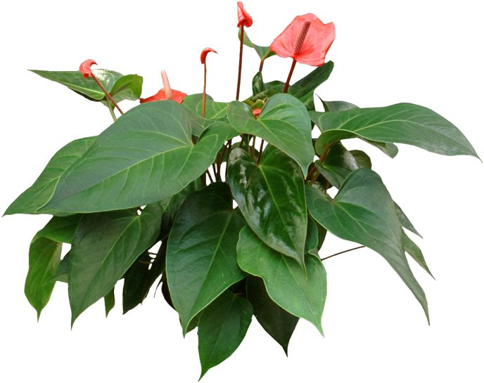 anthuriums are long lasting flowering houseplants that are easy to care for and hard to kill - Flowering House Plants Identification