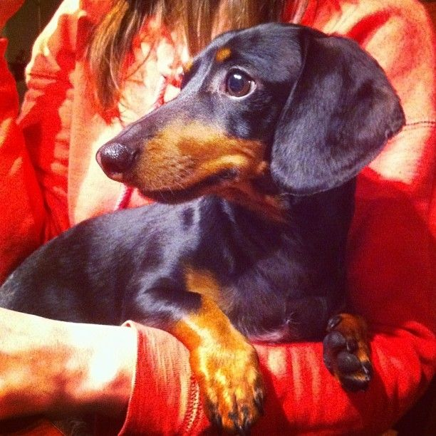The Dachshund Is A Short Legged Long Bodied Hound Type Dog
