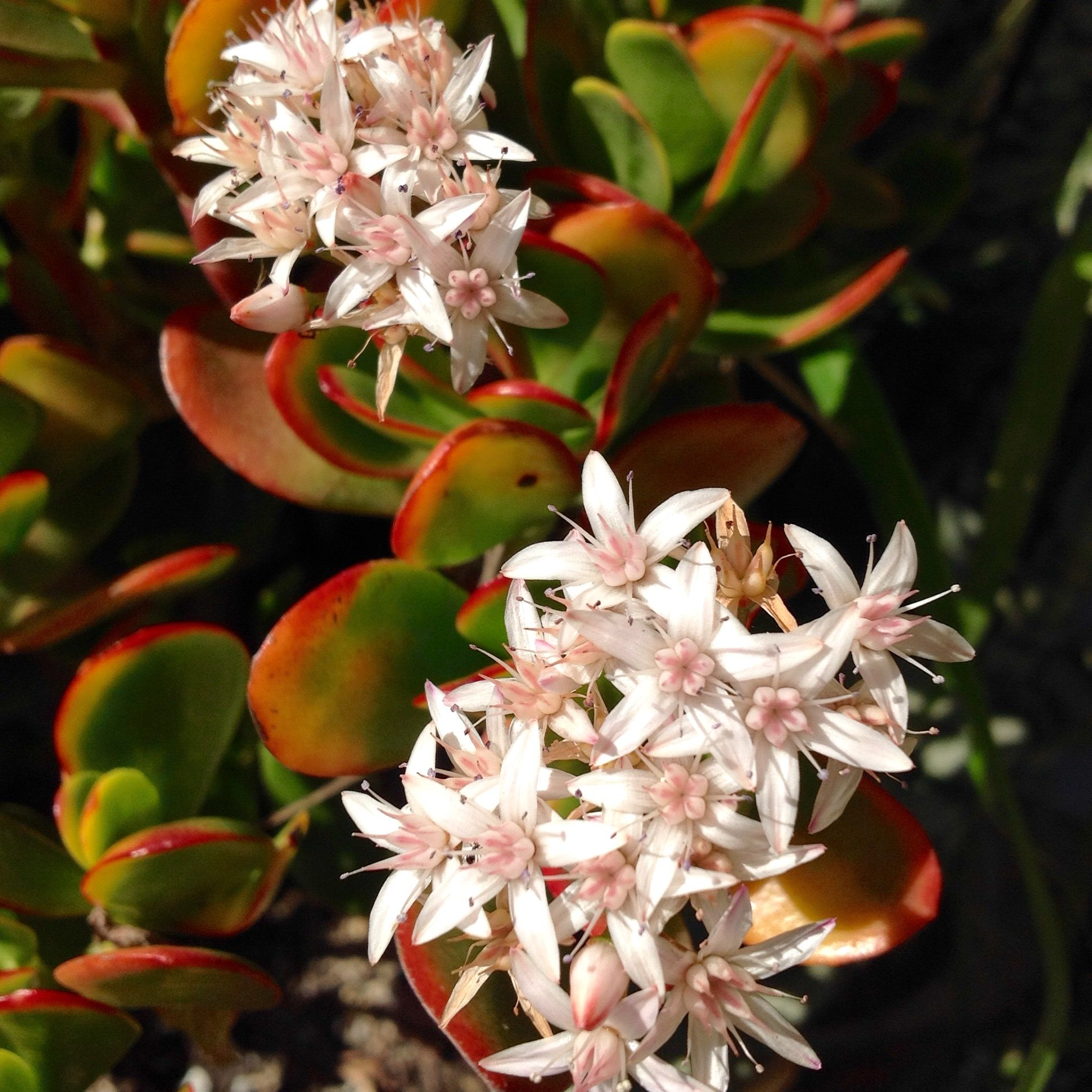 Crassula ovata in my garden today pinterest crassula ovata