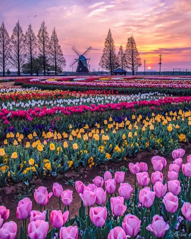 Tulip Field Lisse Netherlands With Images Tulip Fields