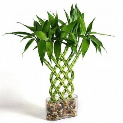 Trellis Lucky Bamboo Money Tree Pinterest Jardins Bambou Et
