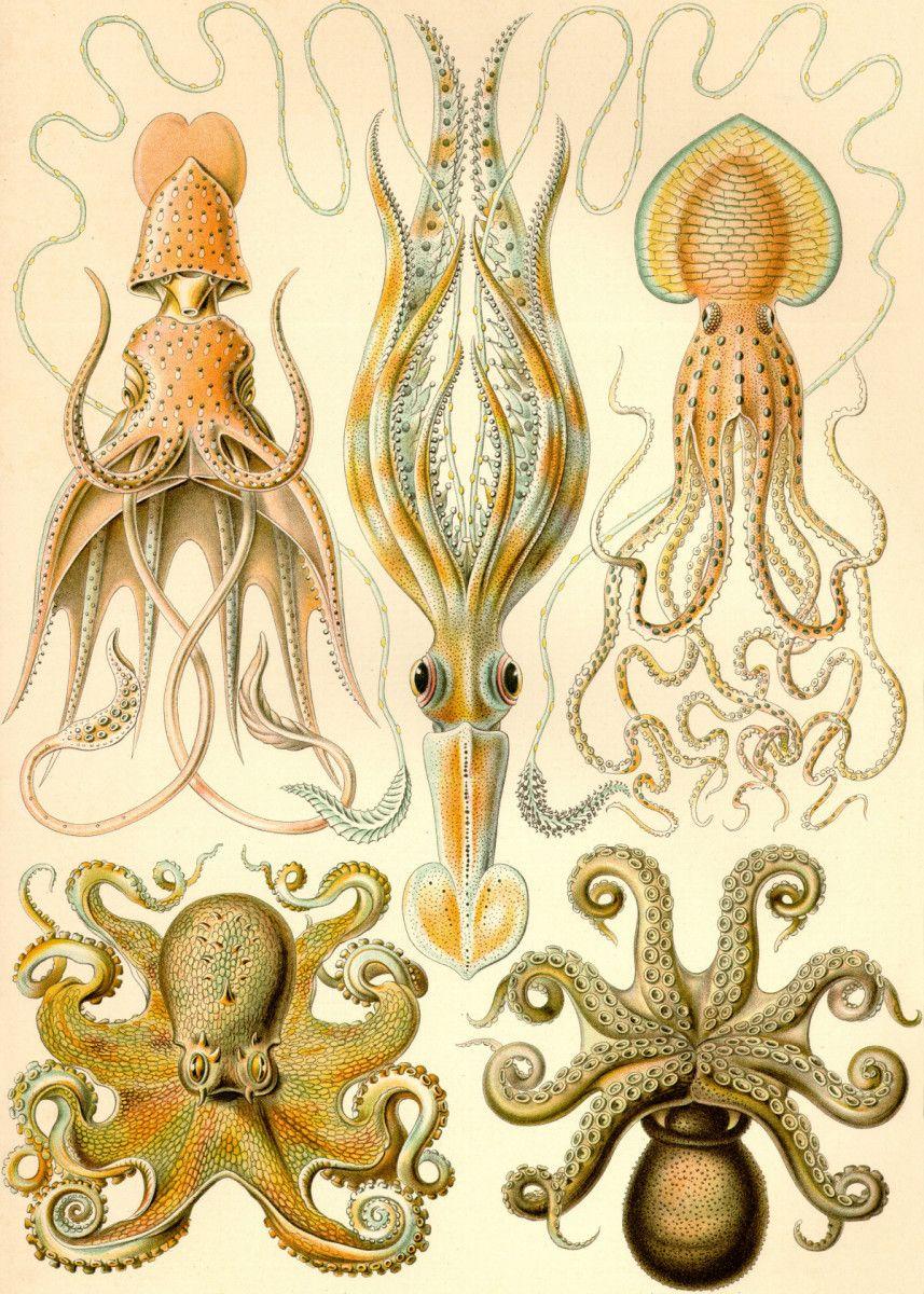 Gamochonia Ernst Haeckel Ernst Haeckel was a German biologist naturalist philosopher physician professor marine… | Displate thumbnail