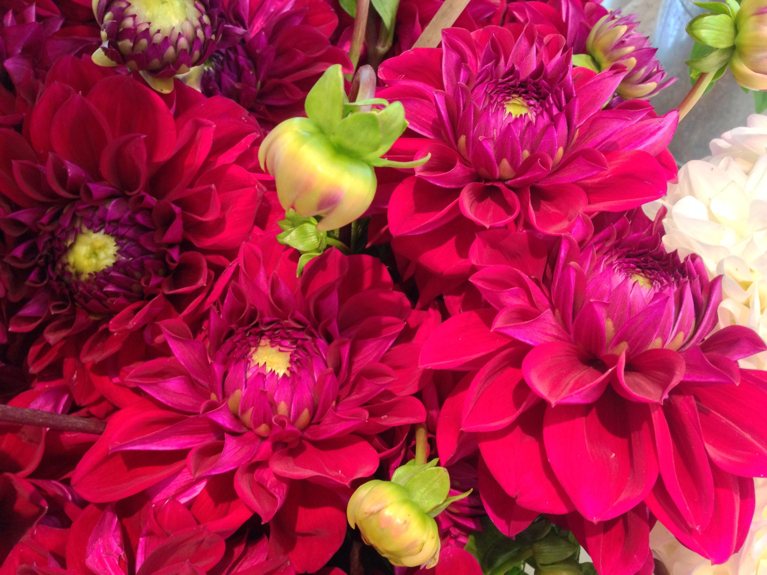 Dahlias source boutique pompon fleurs pinterest dahlia dahlia izmirmasajfo
