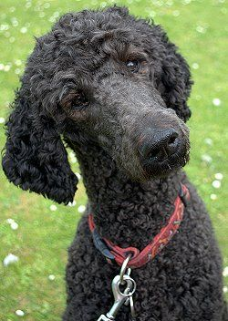 Buying Or Adopting A Standard Poodle Standard Poodle Black