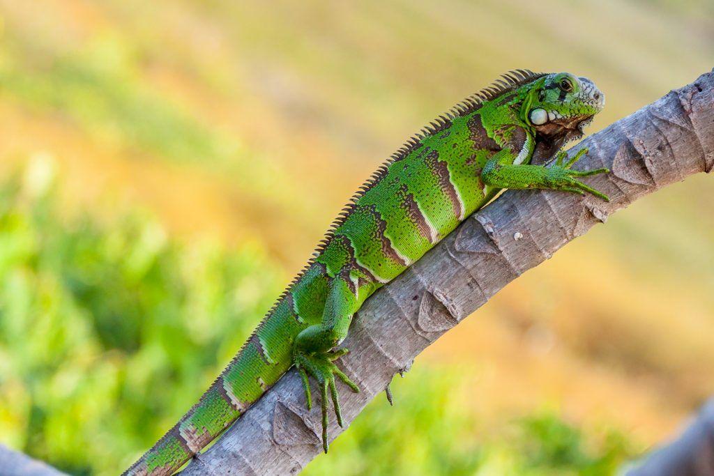 Conoce A La Iguana Verde Un Animal Exotico Y Espectacular
