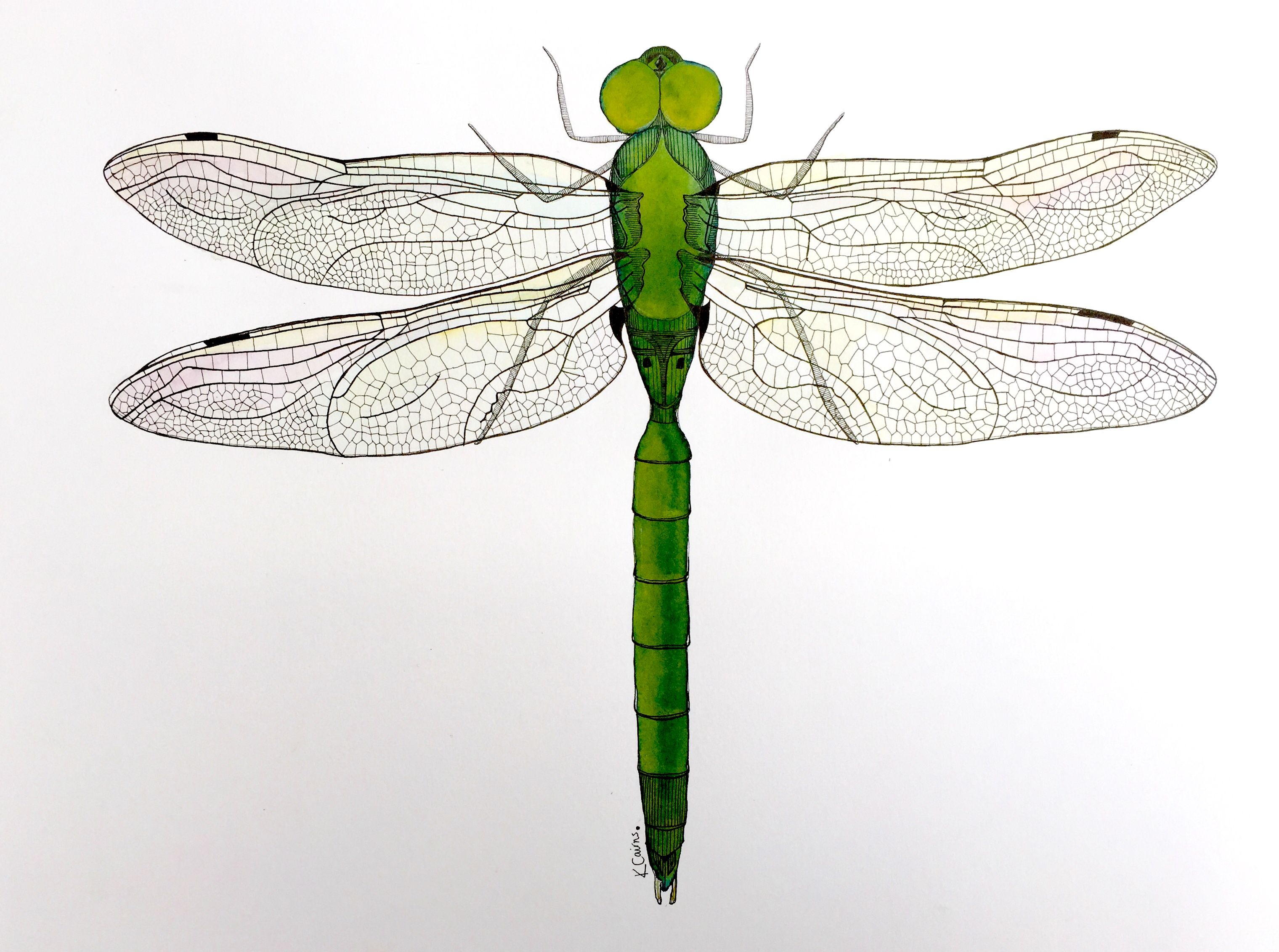 Dragonfly, ink drawing, insect, damselfly