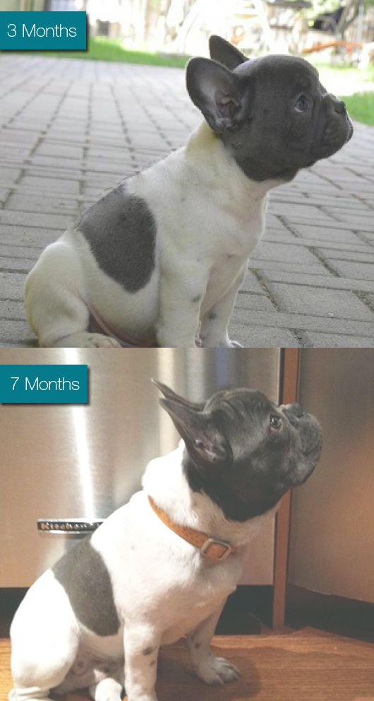 My French Bulldog Louis is growing so fast!