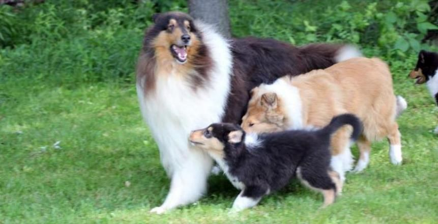 For Over 40 Years Val Hi Collies Has Been Breeding Quality