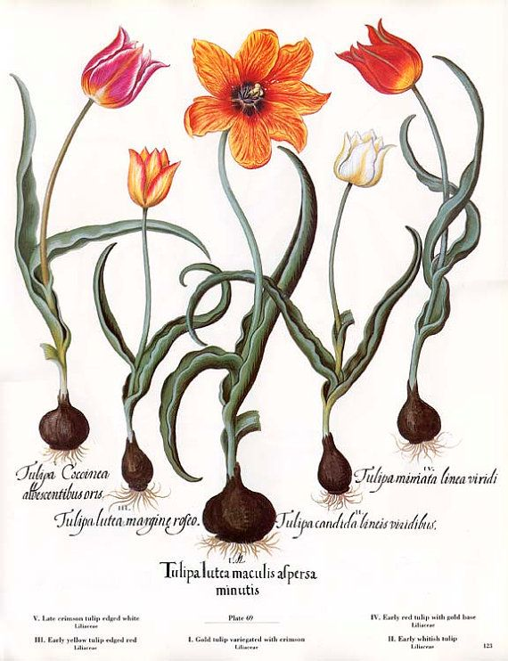 More Tulip Species-most have varying degrees of a slight honey scent;yellow ones are strongest,though ive encountered red & deep pink varieties that have a sweet scent.BESLER Botanical Book Plate 69&70 TULIP by wordsandmelodies, $10.00