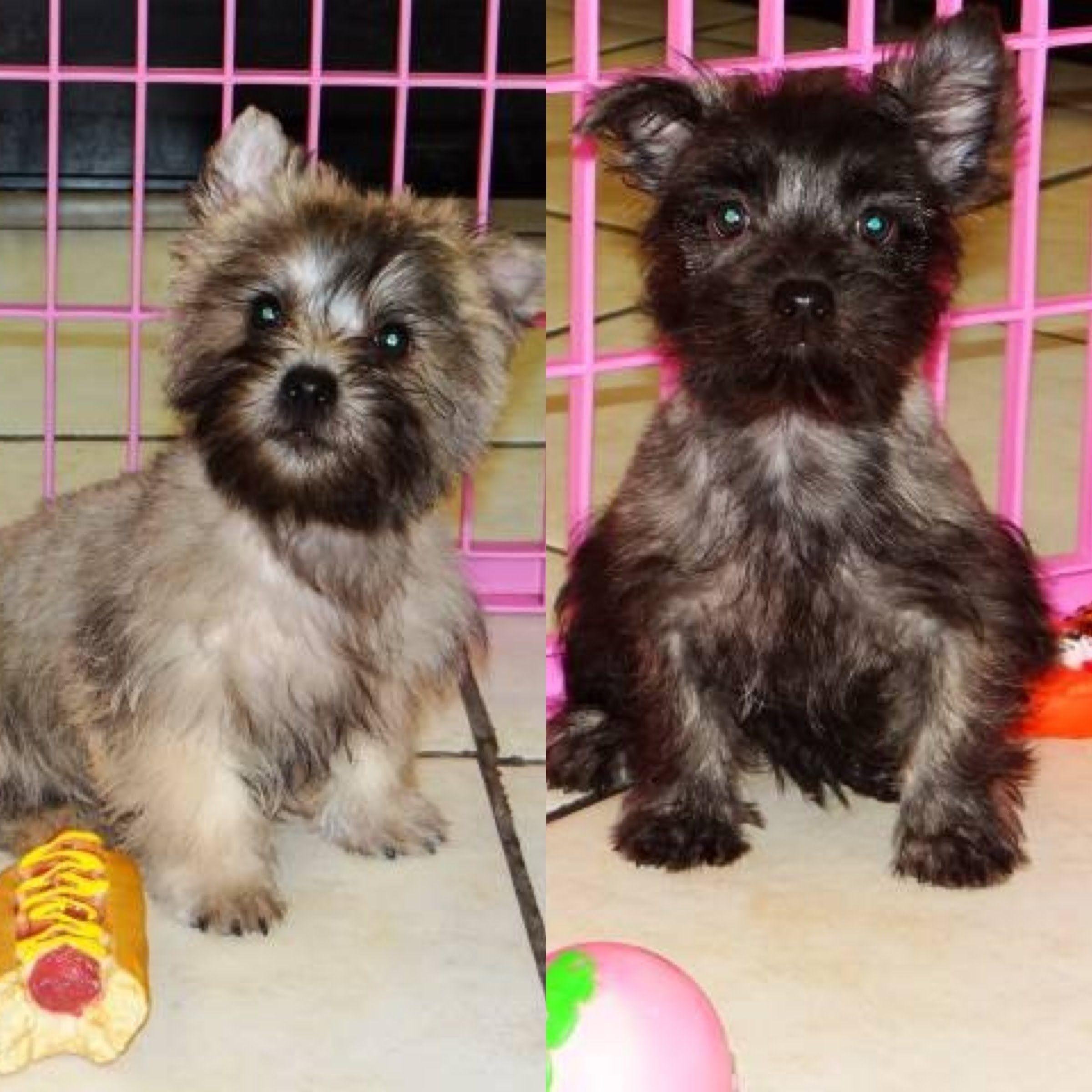 Cairn Terrier Puppies For Sale In San Jose California Ca Ontario Santa Rosa Rancho Cucamon Cairn Terrier Puppies Cairn Terrier Terrier