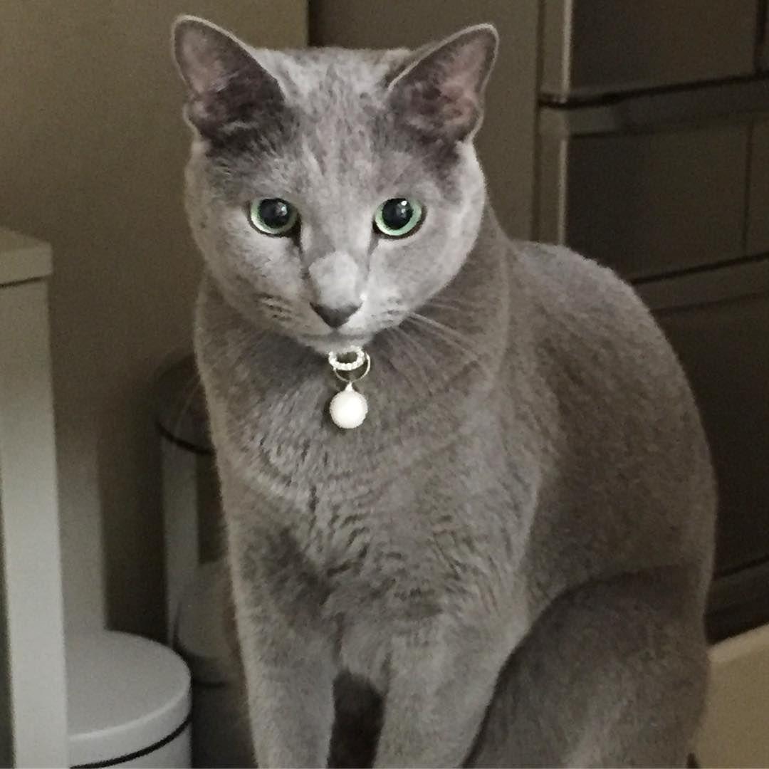 おはよう 時間だよ キッチンでお薬と一緒に貰えるウェットフード待ち 仕事に行きたくないね 猫 ねこ ネコ ニャンコ にゃんこ にゃんすたぐらむ ロシアンブルー ペット Cat Cats Catstagram Catlover Cute Cats Orion Animals