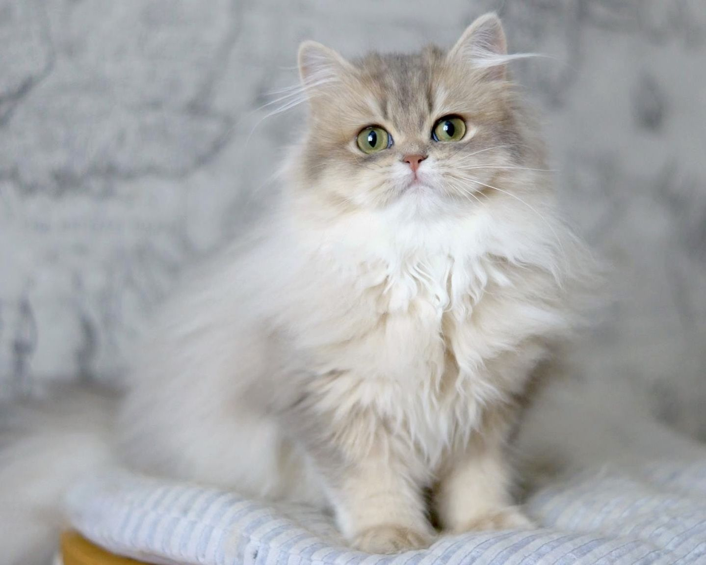 Blue Golden Longhair Ay11 In 2020 Cats Long Haired Cats British Shorthair Cats