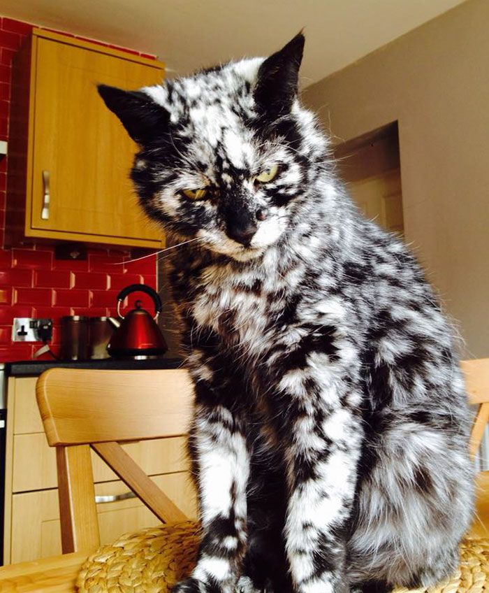 YearOld Black Cat Turns Into A Marble Beauty Most Likely Due - Meet scrappy 19 year old black cat grew unique marble fur due rare skin condition