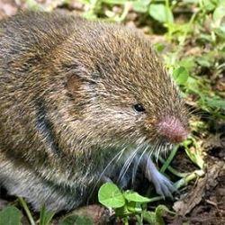 how to get rid of voles in garden
