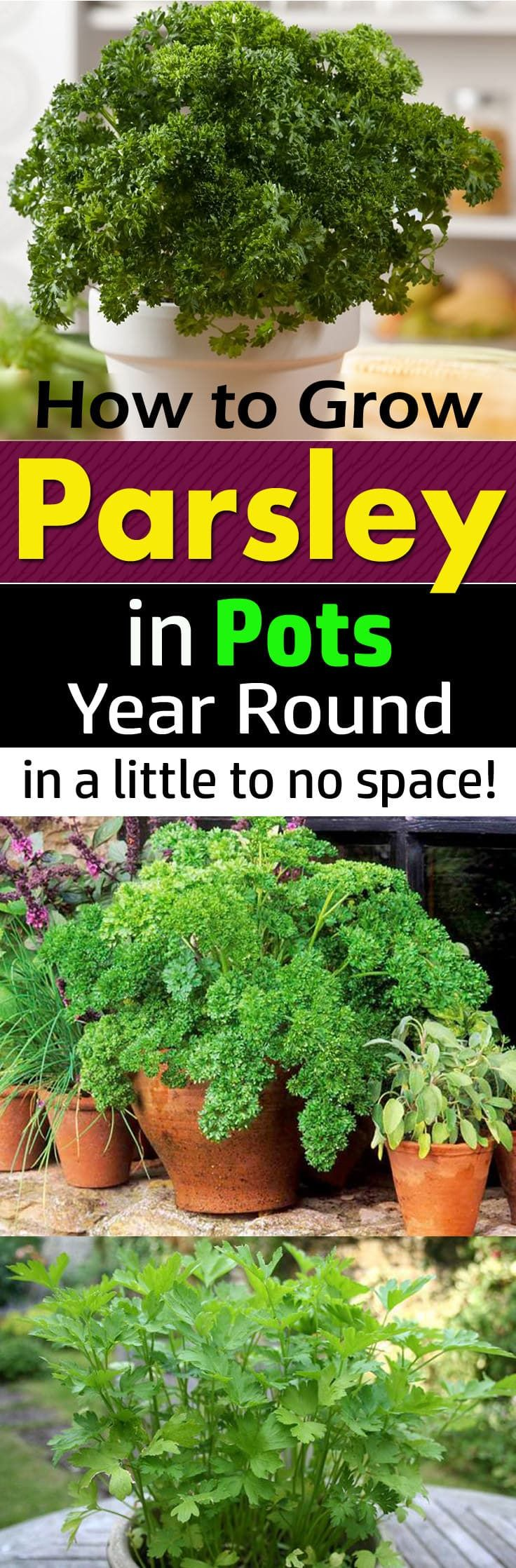 How To Grow Parsley In Pots Year Round In A Little To No Space In 2020 Growing Parsley Growing Vegetables Planting Herbs